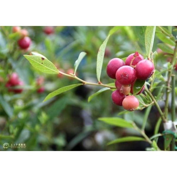 ブルーベリー 『 ピンクレモネード 』 2年生 10.5cmポット苗|produce87|06