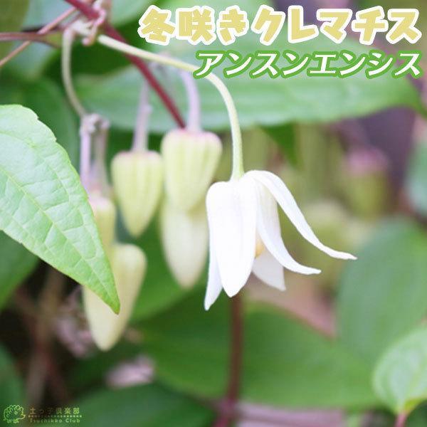 ( 花芽付き )冬咲き 常緑 クレマチス 「 アンスンエンシス 」(ウィンターベル / ユンナンエンシス)4号鉢植え アーチ仕立て