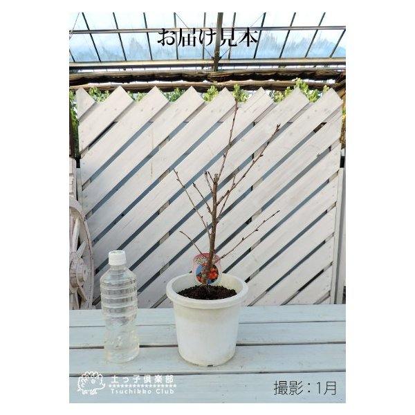 1本でなる 『 暖地 さくらんぼ 』 5号鉢植え|produce87|02