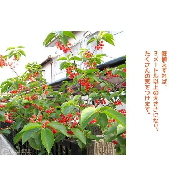 1本でなる 『 暖地 さくらんぼ 』 5号鉢植え|produce87|14