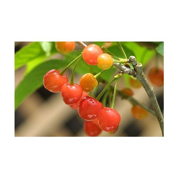 1本でなる 『 暖地 さくらんぼ 』 5号鉢植え|produce87|09