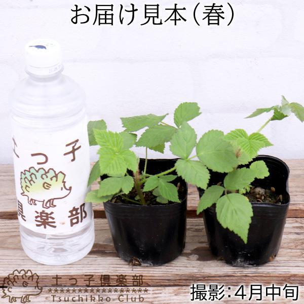 ラズベリー ( インディアンサマー 2季なり性 ) 9cmポット苗 2個組|produce87|02