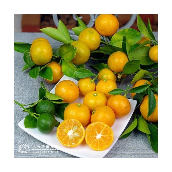 実付き 四季橘 『 カラマンシー 』 5号鉢植え 接木苗 ( 四季柑 )※実付き2〜3個なり|produce87|03