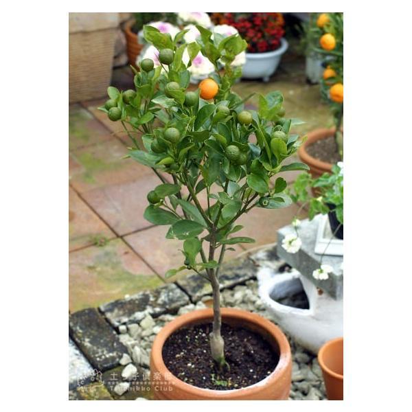 実付き 四季橘 『 カラマンシー 』 5号鉢植え 接木苗 ( 四季柑 )※実付き2〜3個なり|produce87|04