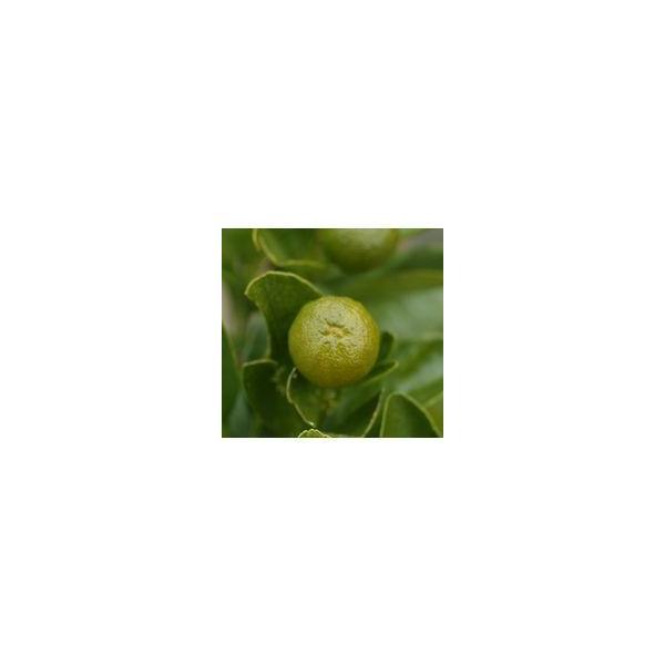 実付き 四季橘 『 カラマンシー 』 5号鉢植え 接木苗 ( 四季柑 )※実付き2〜3個なり|produce87|05