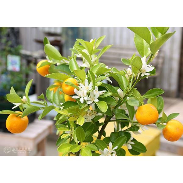 実付き 四季橘 『 カラマンシー 』 5号鉢植え 接木苗 ( 四季柑 )※実付き2〜3個なり|produce87|06