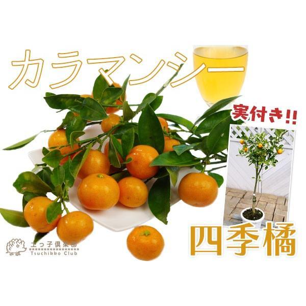 実付き 四季橘 『 カラマンシー 』 5号鉢植え 接木苗 ( 四季柑 )※実付き2〜3個なり|produce87|07