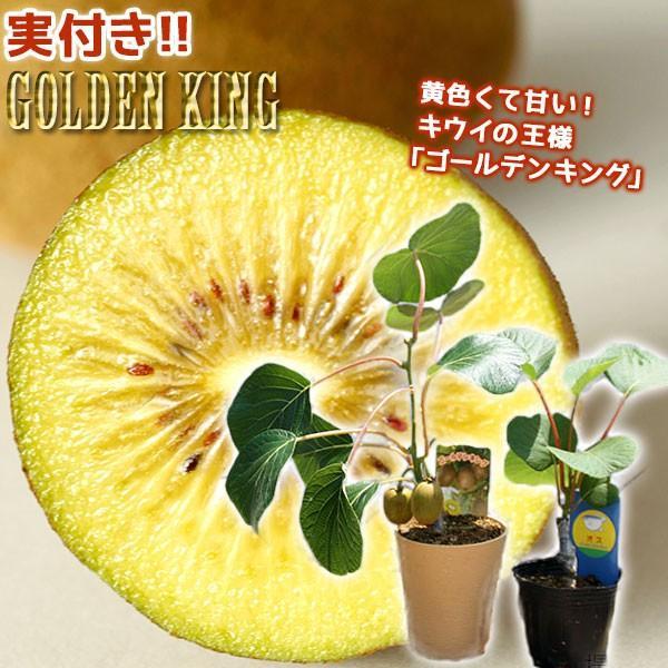実付き キウイフルーツ 『 ゴールデンキング 』 4号鉢 ※オス木付き (実付き1個なり)