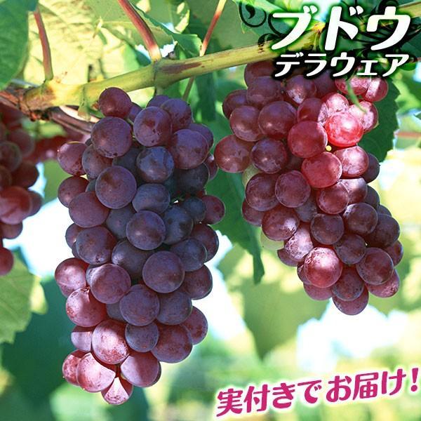 実付き ブドウ 『 デラウェア 』 6号鉢植え【期間限定】|produce87