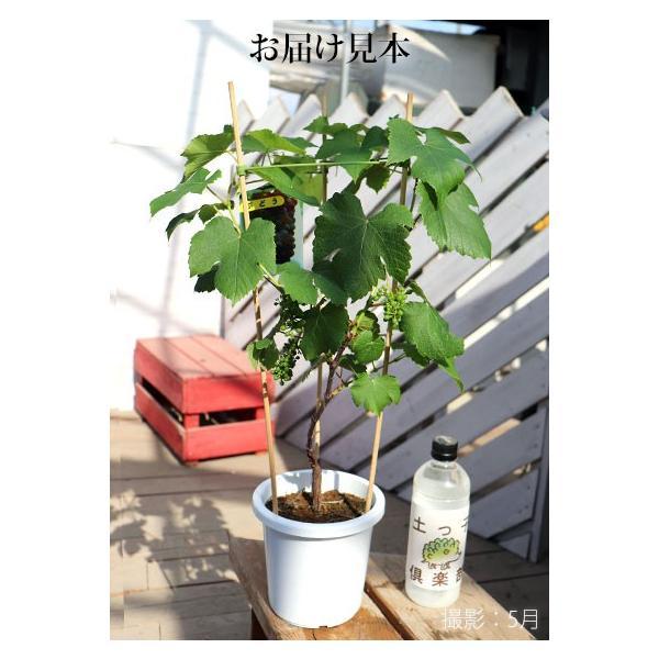 実付き ブドウ 『 デラウェア 』 6号鉢植え【期間限定】|produce87|02