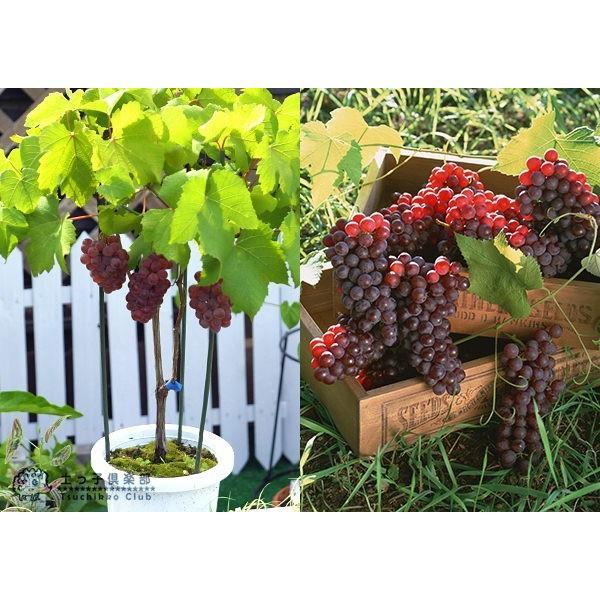実付き ブドウ 『 デラウェア 』 6号鉢植え【期間限定】|produce87|03