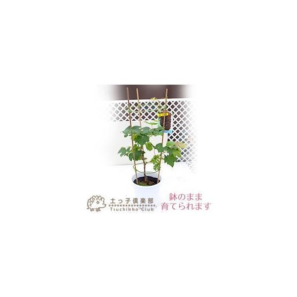 実付き ブドウ 『 デラウェア 』 6号鉢植え【期間限定】|produce87|05