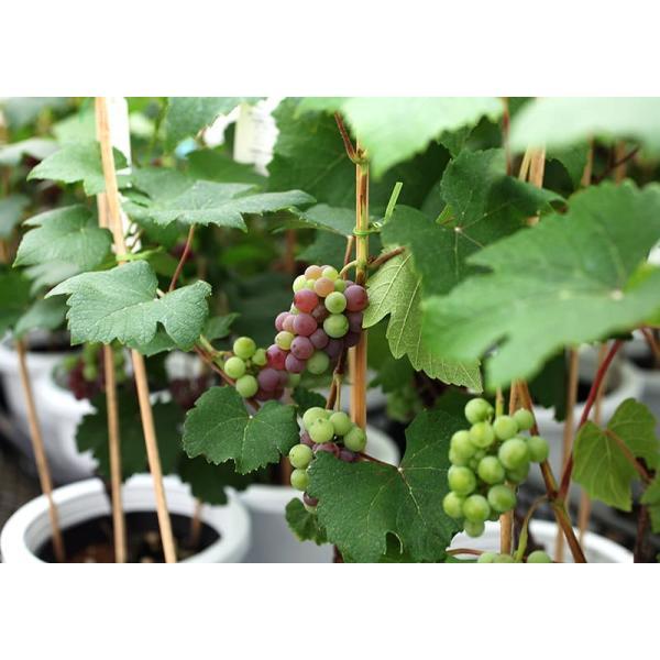 実付き ブドウ 『 デラウェア 』 6号鉢植え【期間限定】|produce87|06