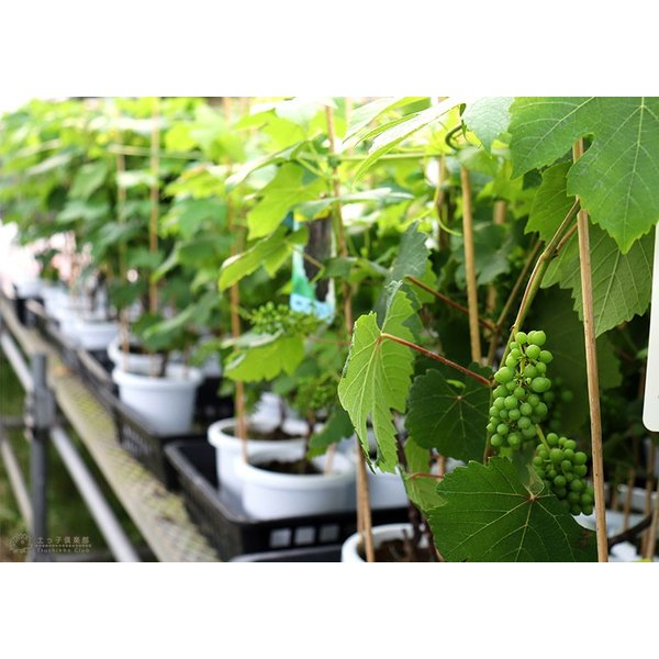実付き ブドウ 『 デラウェア 』 6号鉢植え【期間限定】|produce87|07