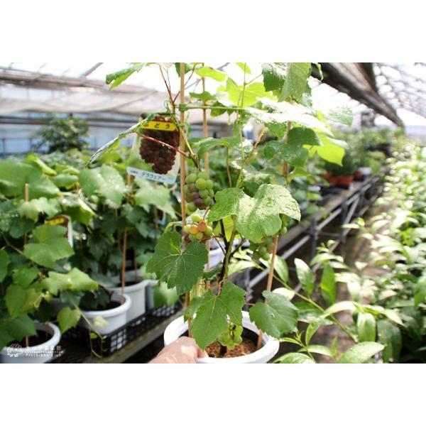 実付き ブドウ 『 デラウェア 』 6号鉢植え【期間限定】|produce87|08