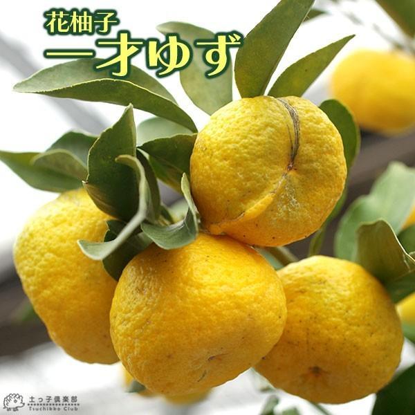 一才ユズ 『 花柚子 ( 花ゆず ) 』 2年生 接ぎ木 15cmポット苗