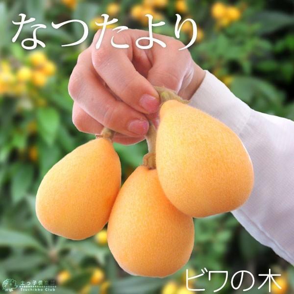 びわ 『 なつたより 』 13.5cmポット苗木|produce87