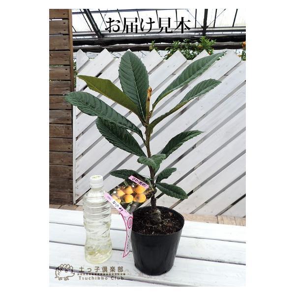 びわ 『 なつたより 』 13.5cmポット苗木|produce87|02