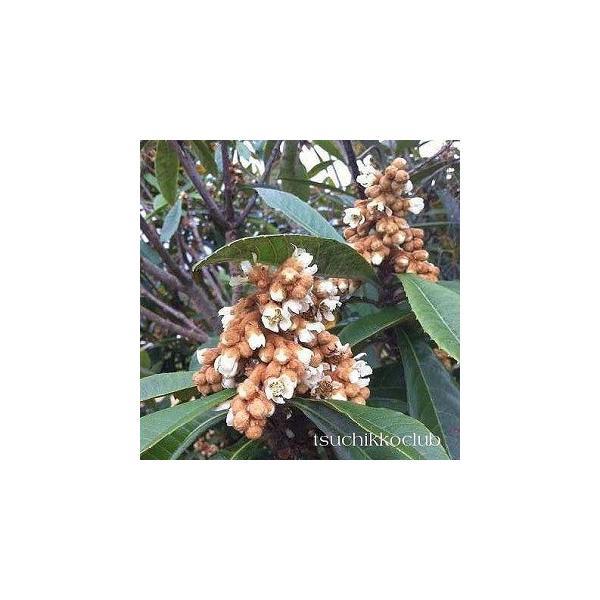 びわ 『 なつたより 』 13.5cmポット苗木|produce87|04