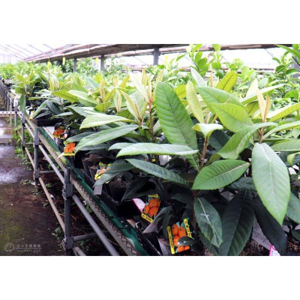 びわ 『 なつたより 』 13.5cmポット苗木|produce87|05