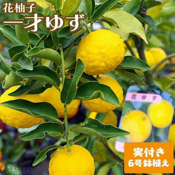 ( 実付き ) ユズ 『 花柚子 ( 一才ゆず ) 』  接ぎ木苗 6号鉢植え