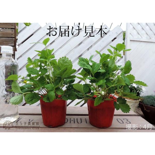 ワイルドストロベリー 9cmポット苗 2個組|produce87|02