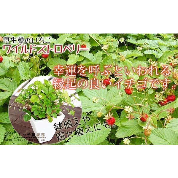 ワイルドストロベリー 9cmポット苗 2個組|produce87|05
