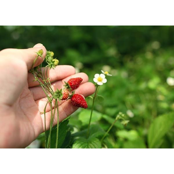 ワイルドストロベリー 9cmポット苗 2個組|produce87|07