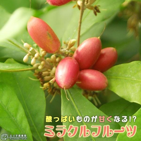 ミラクルフルーツ(ミラクルベリー) 17cm鉢植え produce87