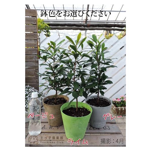 ミラクルフルーツ(ミラクルベリー) 17cm鉢植え produce87 02