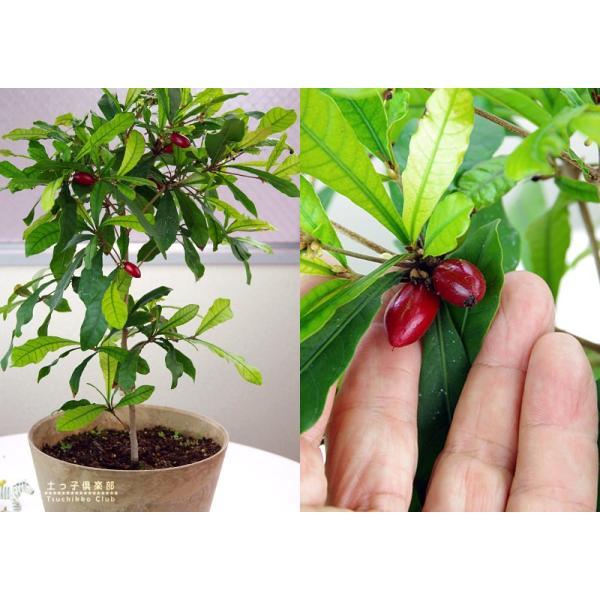 ミラクルフルーツ(ミラクルベリー) 17cm鉢植え produce87 04