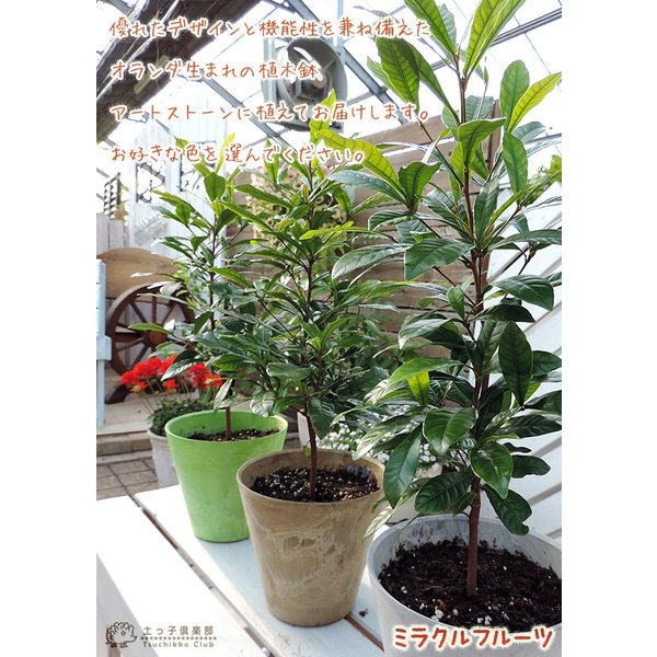ミラクルフルーツ(ミラクルベリー) 17cm鉢植え produce87 05