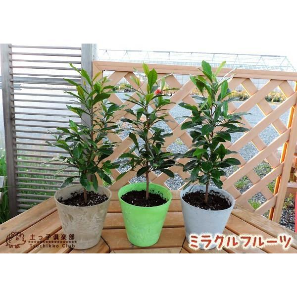 ミラクルフルーツ(ミラクルベリー) 17cm鉢植え produce87 06