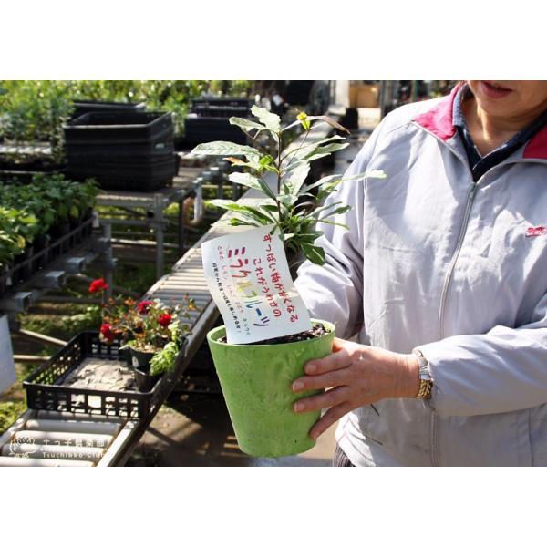 ミラクルフルーツ(ミラクルベリー) 17cm鉢植え produce87 07