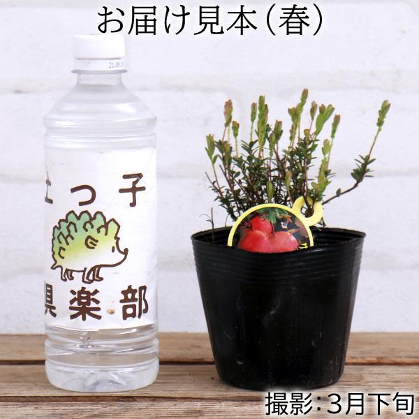 実付き クランベリー ( ツルコケモモ ) 10.5cmポット苗|produce87|02