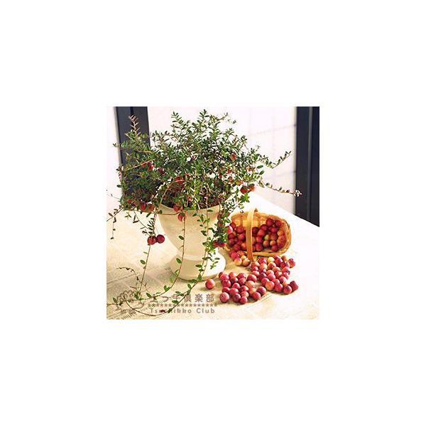 実付き クランベリー ( ツルコケモモ ) 10.5cmポット苗|produce87|04
