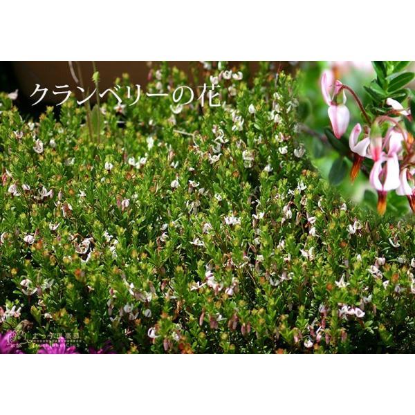 実付き クランベリー ( ツルコケモモ ) 10.5cmポット苗|produce87|06