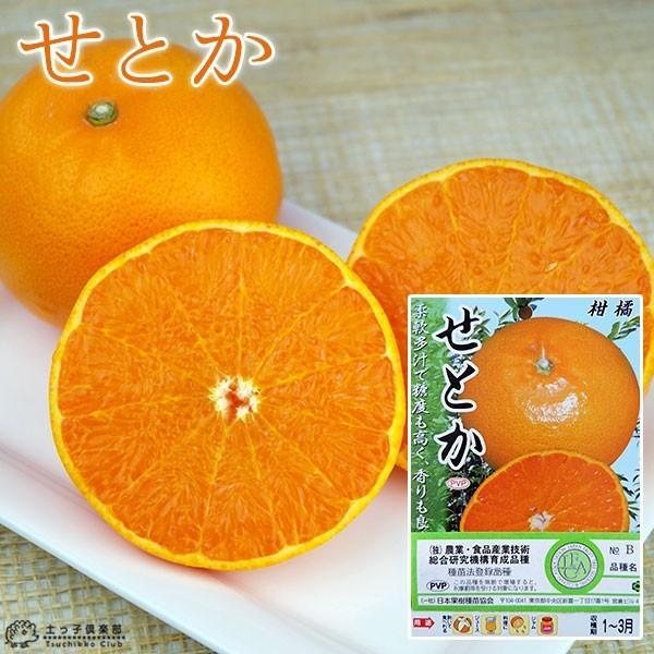柑橘  『 せとか 』 13.5cmポット接木苗 (2年生)