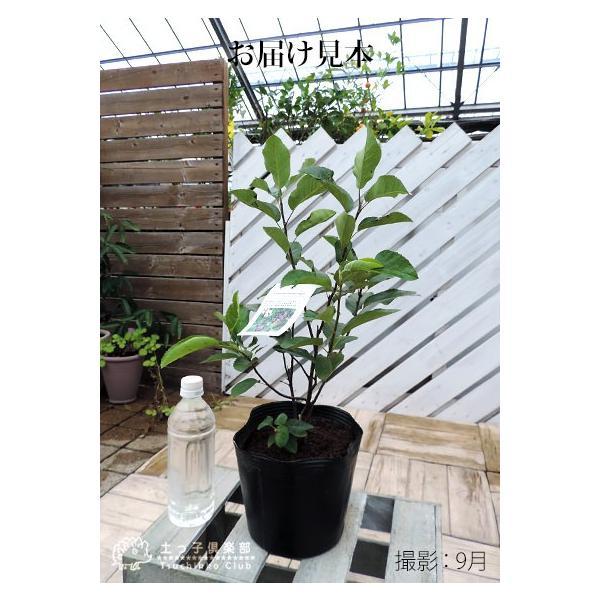 珍種 矮性ジューンベリー  『リージェント』 18cmポット苗|produce87|02