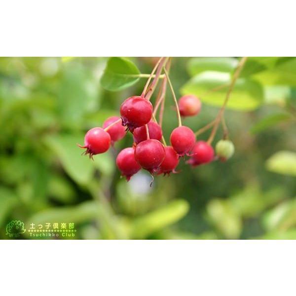 珍種 矮性ジューンベリー  『リージェント』 18cmポット苗|produce87|03