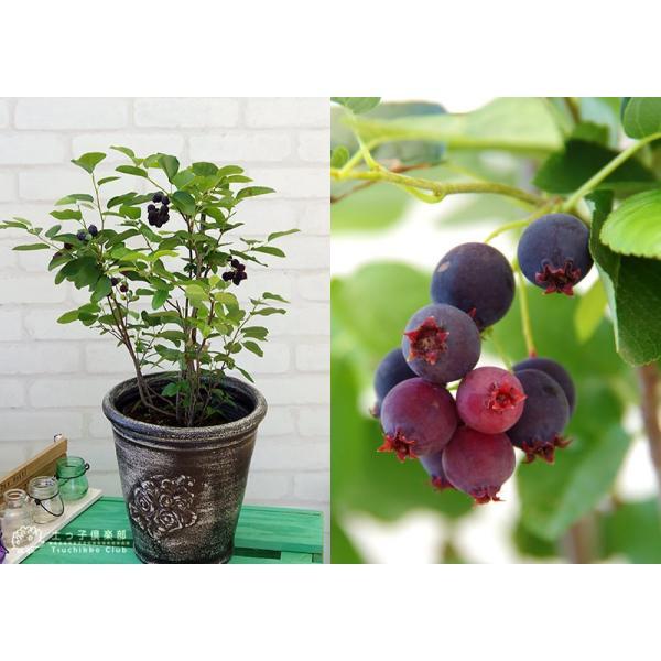 珍種 矮性ジューンベリー  『リージェント』 18cmポット苗|produce87|04