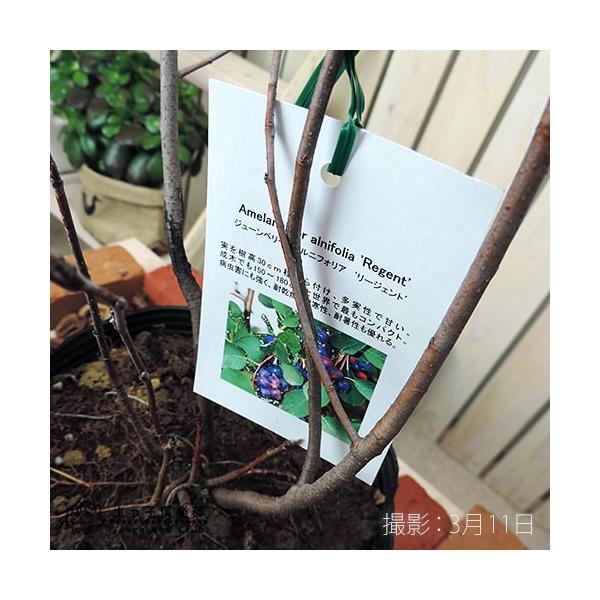 珍種 矮性ジューンベリー  『リージェント』 18cmポット苗|produce87|05