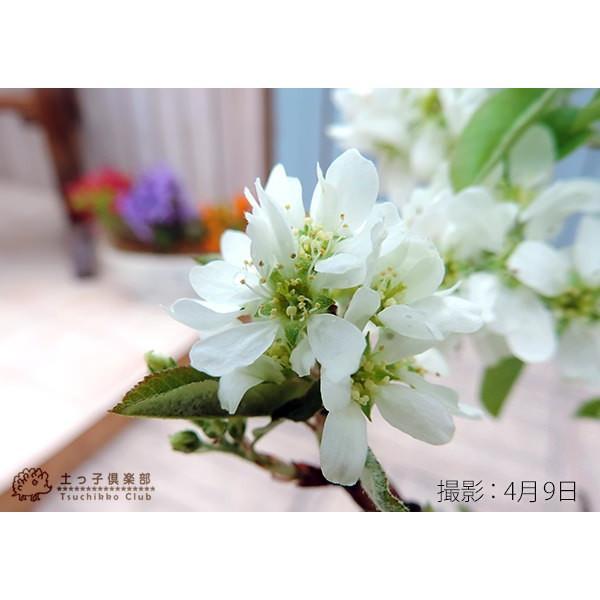 珍種 矮性ジューンベリー  『リージェント』 18cmポット苗|produce87|06