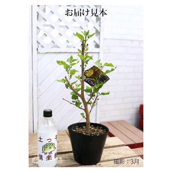 大実マルベリー 桑の木 15cmポット苗木|produce87|02