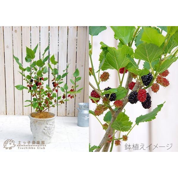 大実マルベリー 桑の木 15cmポット苗木|produce87|03