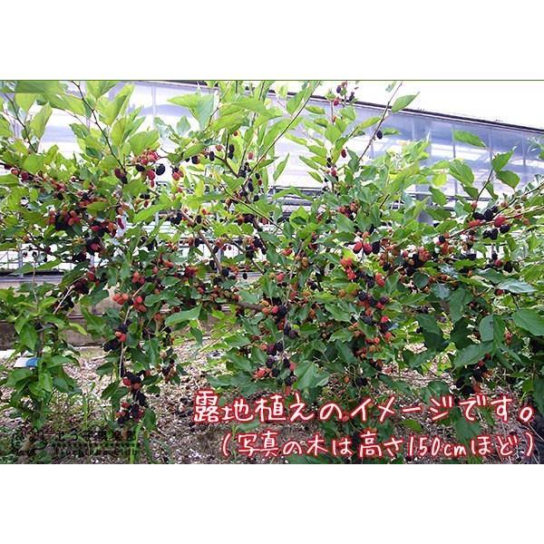 大実マルベリー 桑の木 15cmポット苗木|produce87|04