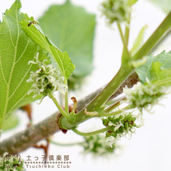 大実マルベリー 桑の木 15cmポット苗木|produce87|06