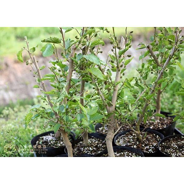 大実マルベリー 桑の木 15cmポット苗木|produce87|07