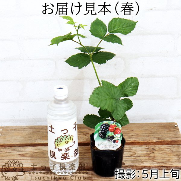 トゲなし ブラックベリー 『 トリプルクラウン 』 9cmポット苗 produce87 02
