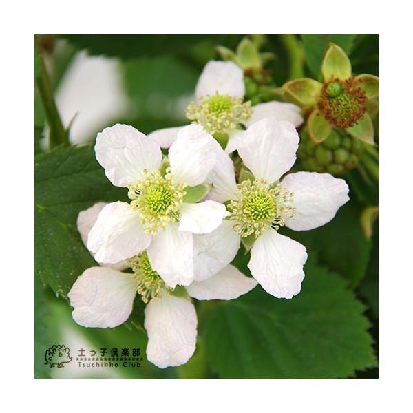 トゲなし ブラックベリー 『 トリプルクラウン 』 9cmポット苗 produce87 04